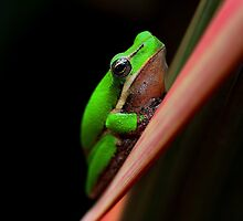 Litoria fallax -Green frogs. by andrachne