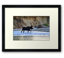 Young bull moose in the Bitterroot River Framed Print