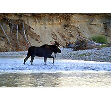 Young bull moose in the Bitterroot River Photographic Print