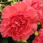 Red Carnation by PoetCRS