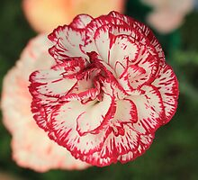 White Red Tipped Carnation by PoetCRS