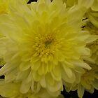 Yellow Chrysanthemum by PoetCRS