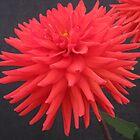 Red Chrysanthemum by PoetCRS