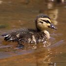 Pacific Black Duckling by mosaicavenues