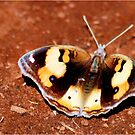 African - Butterfly Series  MALE YELLOW PANSY - Genus Junonia   Pansies by Magaret Meintjes