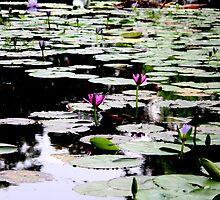 Lilies by the Dozen... by caz60B
