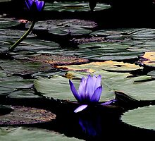 Highlighted Lily Pads. by caz60B