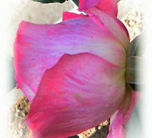 Variegated Rose by ElsT