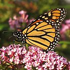 Monarch in the Pink by lorilee