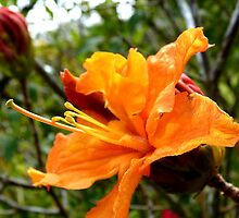 I'm Orange - Azalea - NZ - Port Chalmers by AndreaEL