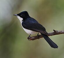 Paperbark Flycatcher taken Kununurra in the NT. by Alwyn Simple