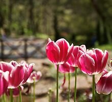 Tulips by Michal Lowenhoff