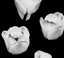 White Tulips on Black by montserrat