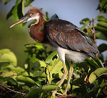 Juvenile Tri-Colored Heron by Gail Falcon
