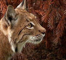 Eurasian Lynx by JMChown