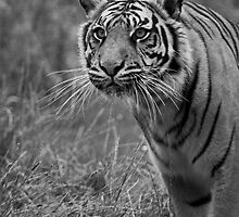 Stalking Tiger by JMChown