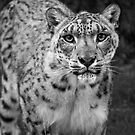 Snow Leopard by JMChown