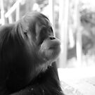 orang-utan. melbourne zoo - victoria by tim buckley | bodhiimages