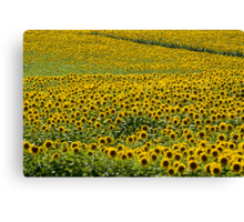 Sea Of Sunshine Canvas Print