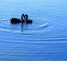 black swans in lake burley griffin by greg angus