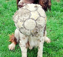 springer spaniel/working dog.  jake  and his ball. by rosannamz