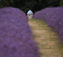 A view through the lavender by ThatsAndy
