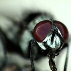 Fly - Closeup II by kutayk