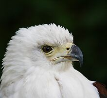 Sea Eagle (also called erne or ern} by Elaine123