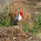 Red Crested Cardinal by Carol Bock