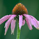 Purple Coneflower (Echinacea purpurea) by okcandids