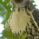 Shy Hawk by okcandids
