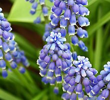 Grape Hyacinths by Kenric A. Prescott