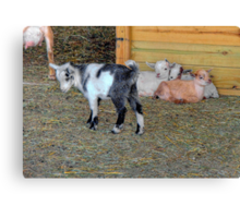 Baby Goats Canvas Print