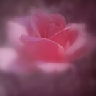 Softly the Pink Rose by Lozzar Flowers & Art
