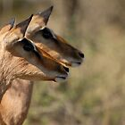 Impala in Kwazulu-Natal South Africa by Sean Elliott