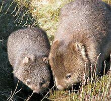 Wombat Mother and Child, Cradle Mountain,Tasmania, Australia. by kaysharp