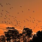 Corella Sunset by bazcelt