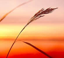 Lonely reed in sunset by natans