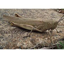 Armour Plated - Grasshopper Photographic Print