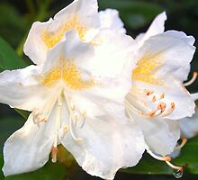 White Rhodo by colette2511
