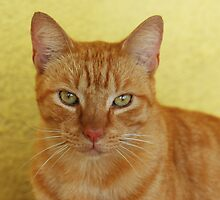 Pumpkin The Cat.. by Beatriz  Cruz