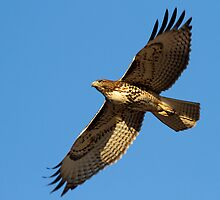 100210 Red Tailed Hawk by Marvin Collins