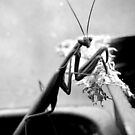 Praying Mantis  by ToddDuvall