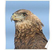 Juvenile Bateleur Eagle Poster