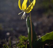 A Glacier Lilly Soaking Up the Rays by ToddDuvall