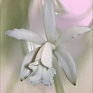 white orchid by Helenvandy