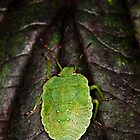 Green Shield Bug (Palomena prasina) by Gabor Pozsgai
