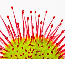 Round-leaved sundew Drosera rotundifolia by Gabor Pozsgai