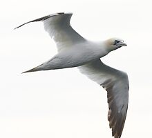 Northern Gannet 01 by DigitallyStill