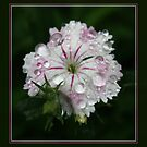 Dianthus Droplets by Keith G. Hawley